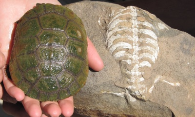 Demonstration of a live turtle beside a fossil