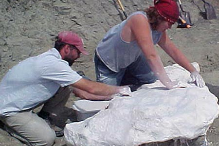 Jacketing a partial Triceratops skull